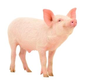 pigs london pindrop saco